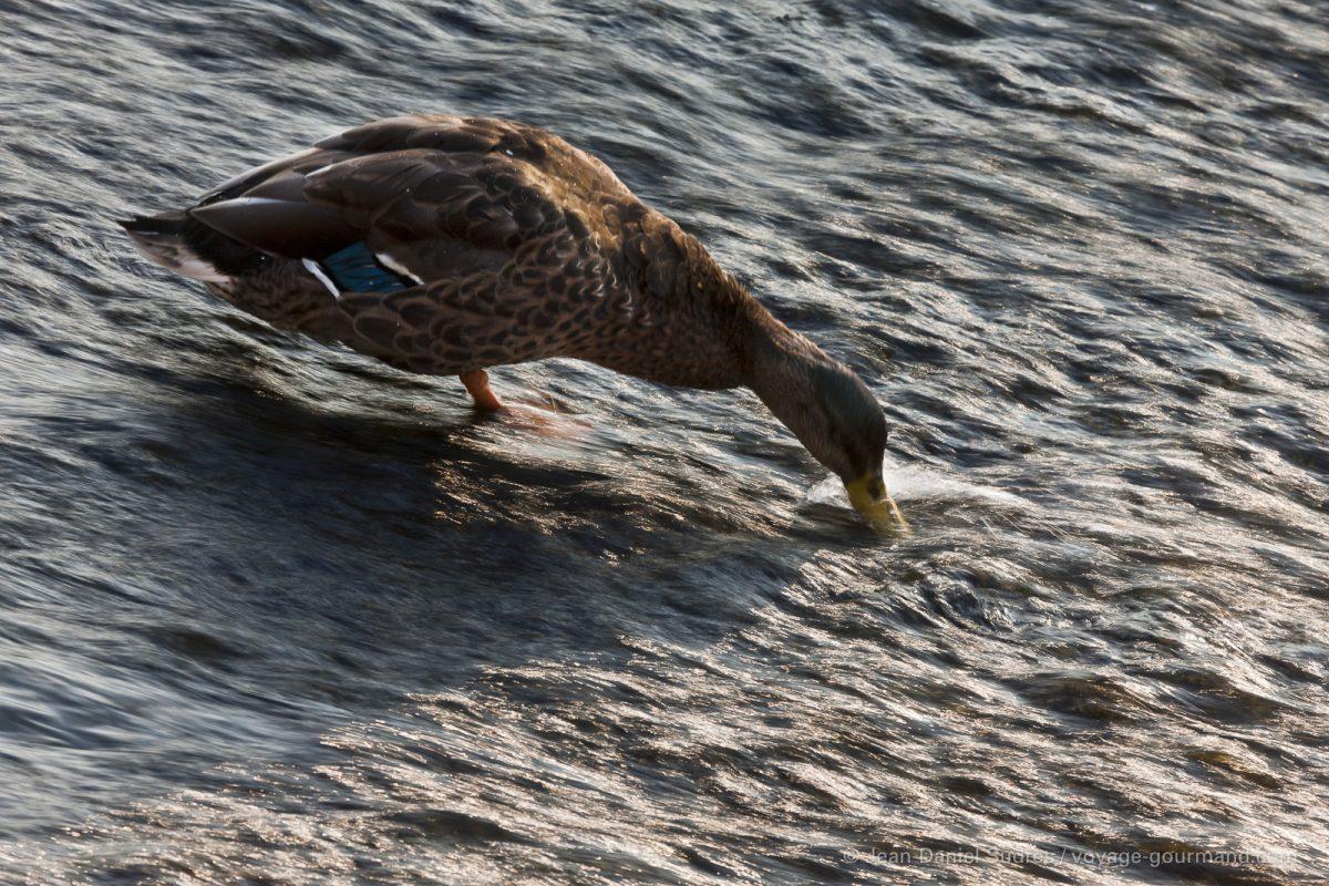 Canard  sur les bords de la Dronne, Brantome