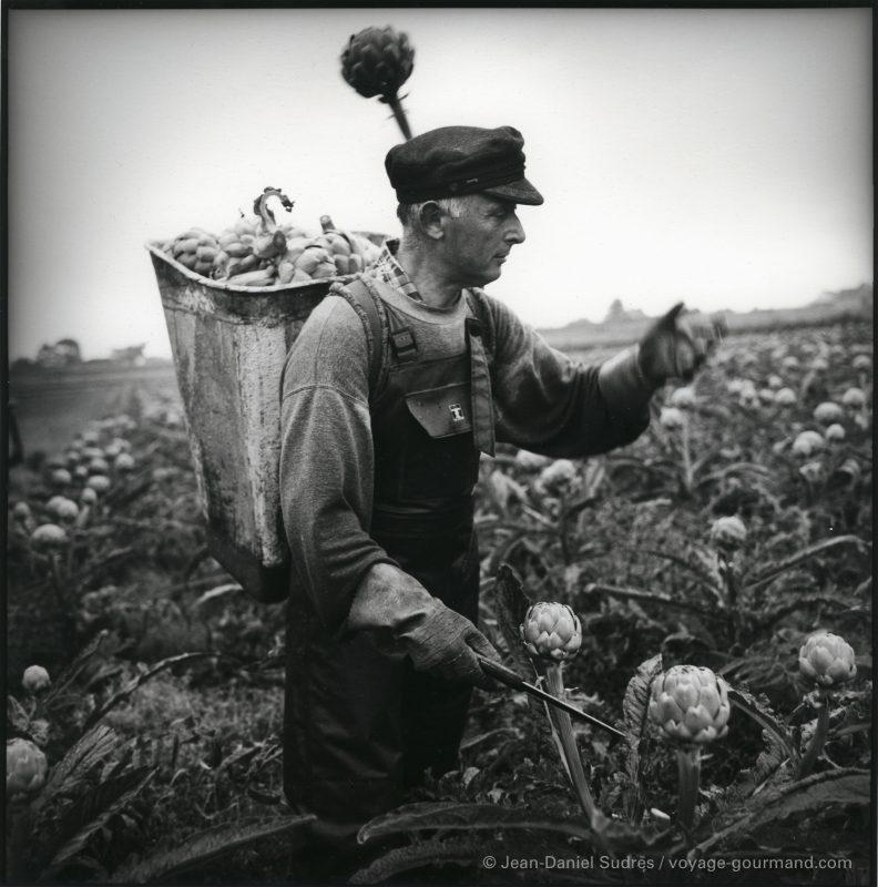 Récolte des artichauts, Finistère