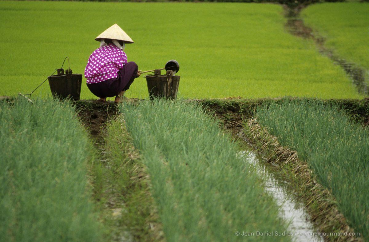 Paysanne dans une rizière, Vietnam